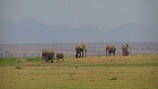 """Un parc national kenyan célèbre un """"babyboom"""" d'éléphants"""