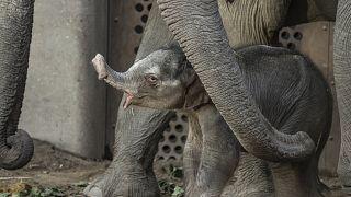 """Le """"baby-boom"""" des éléphants kényans"""