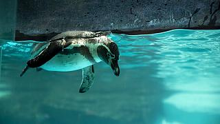 In this file picture, a Humboldt penguin swims in its exhibit as seen during a media tour of La Aurora Zoo, Guatemala City, Tuesday, Aug. 25, 2020.