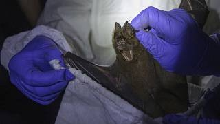 A researcher puts a bat into a bag inside a cave at Sai Yok National Park in Kanchanaburi province, west of Bangkok, Thailand, Saturday, Aug. 1, 2020.