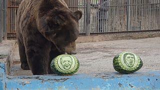 الحيوانات في حديقة سيبيريا يتوقعون الفائز في الانتخابات الأمريكية