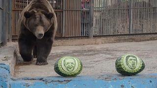 El oso Buyan se dirige a las sandías que tienen dibujados los rostros de Joe Biden y Donald Trump