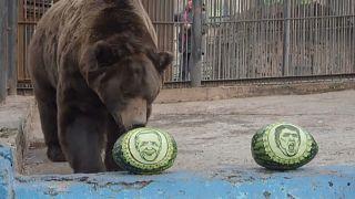 """Сибирский медведь """"голосует"""" за Байдена"""
