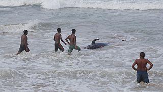Sri Lanka'da Covid-19 nedeniyle sokağa çıkma yasağı uygulanmasına rağmen birçok vatandaş balinaları kurtarmak için kıyı bölgelere akın etti.