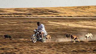 محمد درباس على متن دراجته النارية محاطاً بكلاب نحيلة من فصيلة السلوقي