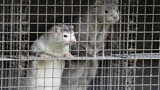 In this file photo taken on October 09, 2020 minks are seen at a farm in Gjol, northern Denmark.