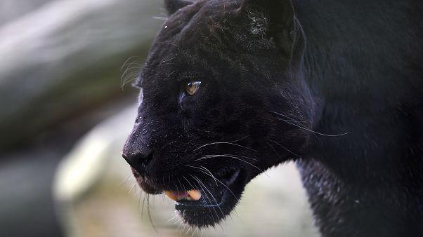 نمر أسود في حديقة حيوانات فرنسا