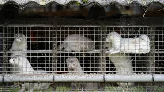 Oct. 9, 2020 file photo, minks in a farm in Gjoel in North Jutland, Denmark. Denmark's
