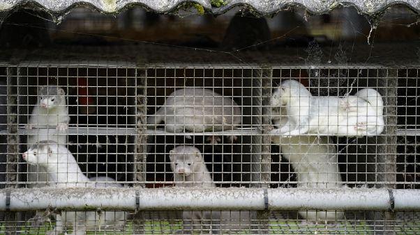 Oct. 9, 2020 file photo, minks in a farm in Gjoel in North Jutland, Denmark. Denmark's