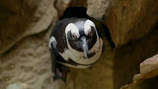 Пингвины скучают без людей