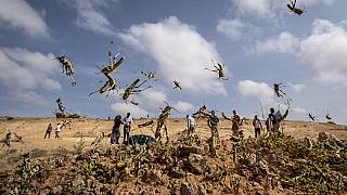Somalia Faces Fresh Desert Locust Storm