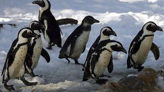 Οι πιγκουίνοι νιώθουν μοναξιά