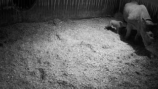 ولادة وحيد قرن أسود نادر-هولندا