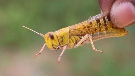 Somalie : Une odeur à l'origine de l'invasion de sauterelles