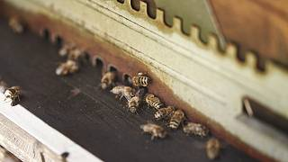 Bees at the Girard-Perregaux headquaters in Le Chaux-de-Fonds, Switzerland.