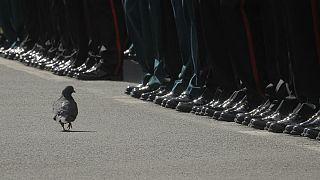 یک کبوتر در مراسم رژه پیروزی جنگ جهانی دوم در مسکو، قدم میزند