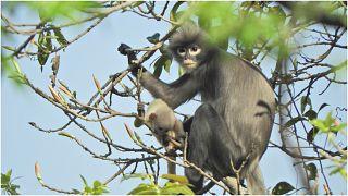 اكتشاف نوع جديد من القردة في ميانمار
