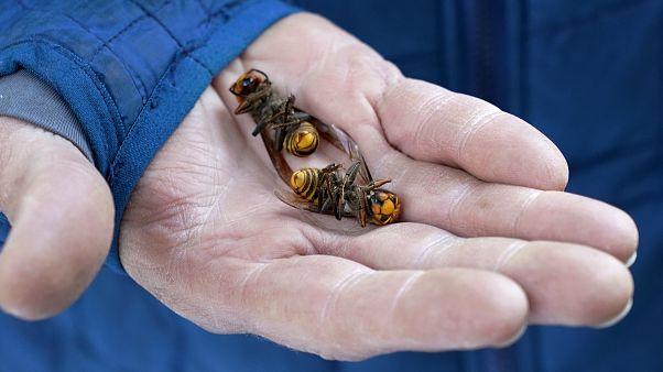 کشف ۲۰۰ ملکه در جریان عملیات نابودی اولین لانه زنبوران قاتل در آمریکا