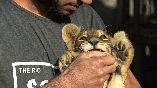 Палестинец и двое львят на крыше