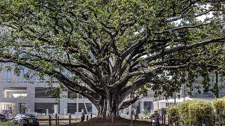 شجرة تين عمرها قرن من الزمان تنجو من الفأس بعد صدور إعلان رئاسي لإنقاذها في نيروبي، كينيا