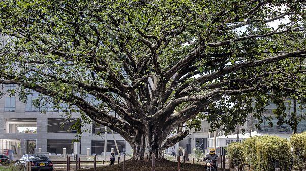 دستور رئیسجمهوری کنیا برای جلوگیری از قطع درخت ۱۰۰ ساله