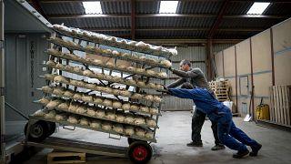 مزارعان يبيدان حوال 3 آلاف من حيوان المينك في مزرعتهما خشية انتقال مزيد من العدوى بالوباء. 2020/11/06
