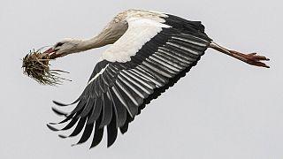 Storch beim Nestbau (Symbolbild)