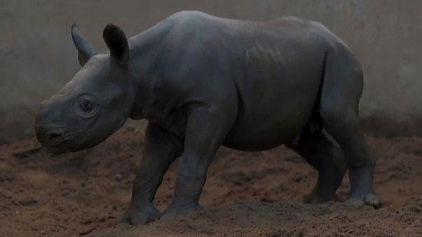 Новорождённый носорог