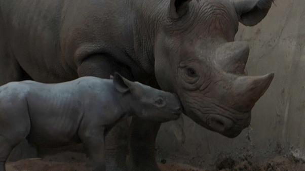 Die Mutter und ihr Neugeborenes im Chester Zoo in Nordengland