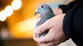An employee of Pipa, a Belgian auction house for racing pigeons, shows a two-year old female pigeon named New Kim after an auction in Knesselare, Belgium, Sunday, Nov. 15, 202