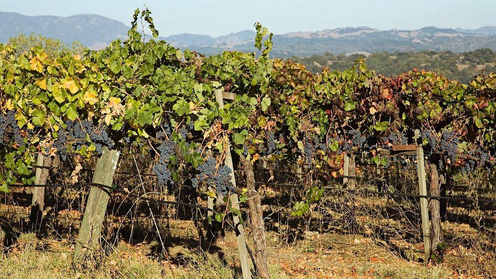 Bringing an ancient Roman vineyard back to life