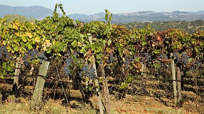 An ancient Roman vineyard has been restored after two thousand years buried under volcanic ash.