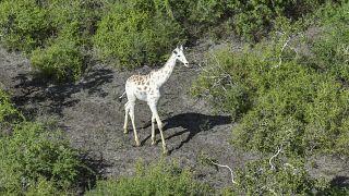 زرافة بيضاء نادرة في كينيا