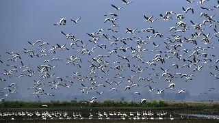 طيور الأوز المهاجرة