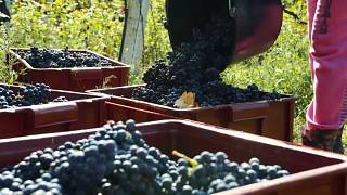 British wine in the making