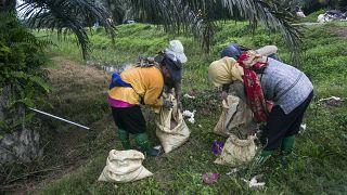 نساء يملأن أكياسًا بالأسمدة لنشرها في مزرعة زيت النخيل في إندونيسيا