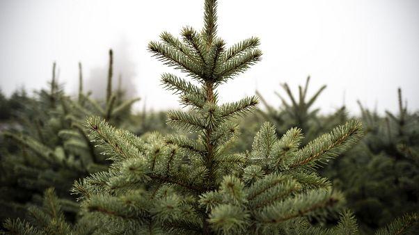 Corte dos primeiros pinheiros de Natal em França