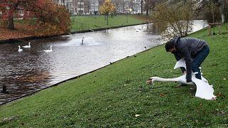 Муниципальный служащий поймал лебедя в Брюгге