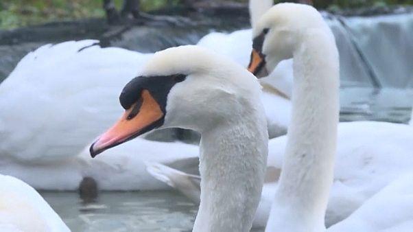 Surto de gripe aviária origina confinamento de aves na Bélgica