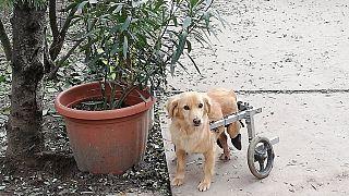 A Noé Állatotthon egyik mozgássérült kutyája sétálni indul a ráerősített szerkezetnek köszönhetően