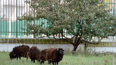 Sheep grazing outside the Paris Archives building.