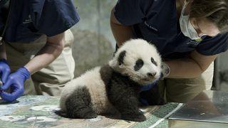 شبل الباندا الذي أطلق عليه اسم المعجزة الصغيرة في واشنطن.