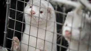Dieser Nerz ist vermutlich nicht mehr am Leben: In Dänemark sollten alle 14 Millionen Tiere im Land gekeult werden.