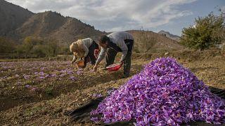 Kashmiri farmers pluck saffron crocus flowers on a farm in Khrew, south of Srinagar