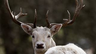 FILE PHOTO: A fallow deer is seen in an animal park at Raisdorf nearby Kiel, northern Germany, Monday, March 15, 2010.