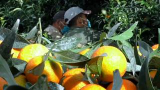 Moroccan seasonal workers finally arrive in France to save Corsican clementine crop
