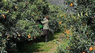 Recolección de mandarinas en Córcega