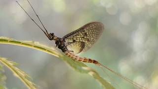 The Danish Mayfly has been selected as the 2021 Insect of the Year