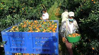 829 Marokkaner retten Clementinen-Ernte auf Korsika