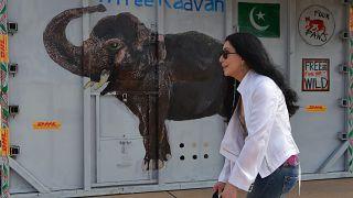مغنية البوب الآمريكية شير تستقبل الفيل كافان في مطار كمبوديا